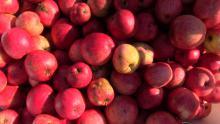 Thorndike Heirloom Apples