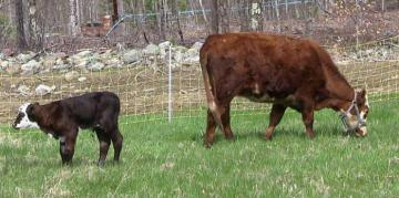 Coram Deo Cow and Calf
